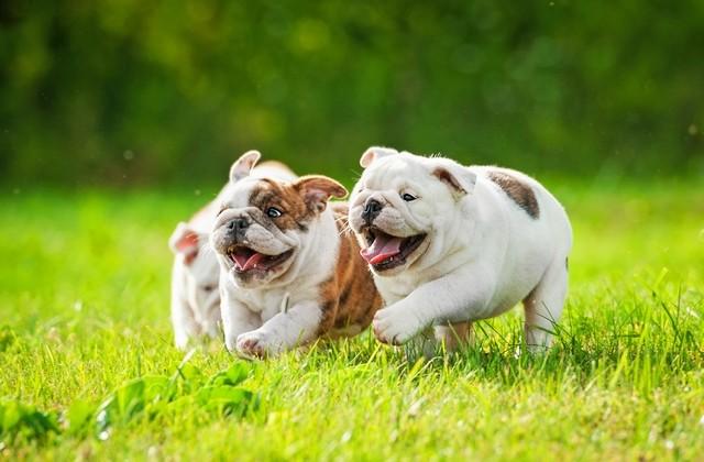 bulldog-pups-640×420