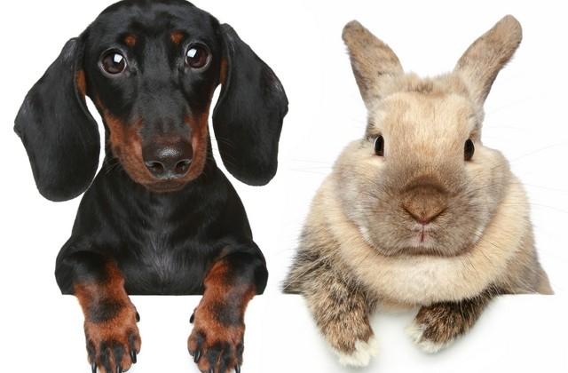 dachshund-and-rabbit-640×420